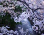 みなければ不機嫌になる。桜、紅葉。